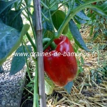 poivron-california-wonder-capsicum-annum-www-graines-de-bambous-fr.jpg