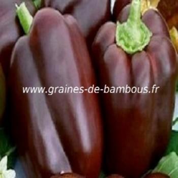 poivron-chocolat-capsicum-annum-www-graines-de-bambous-fr.jpg
