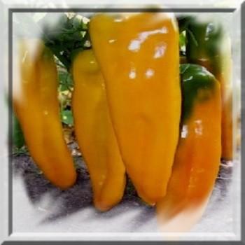 poivron-corne-de-taureau-jaune-capsicum-annum-www-graines-de-bambous-fr-www-grainesdebambous-com.jpg