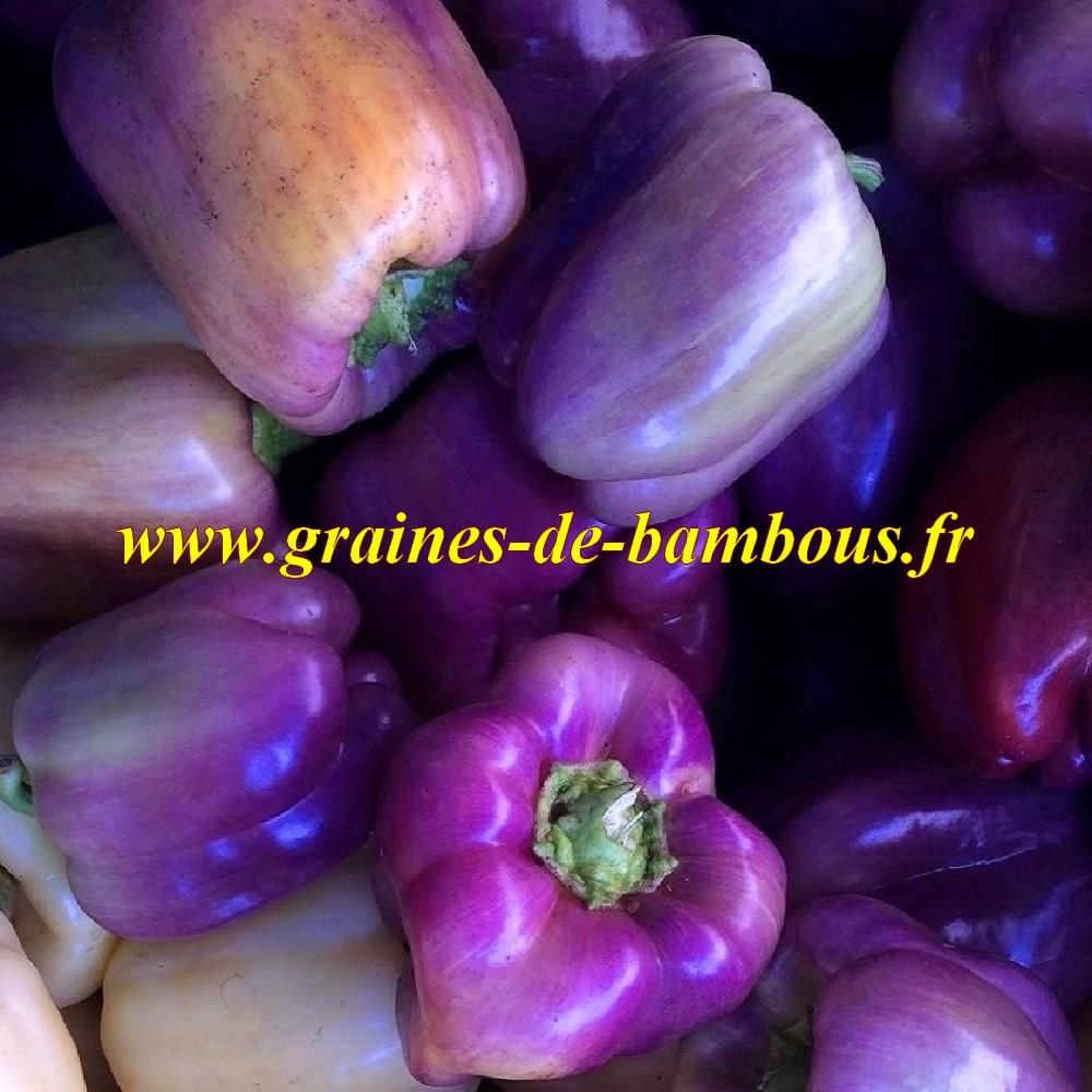 Poivron oda violet graines
