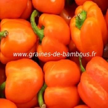 poivron-orange-capsicum-annum-www-graines-de-bambous-fr.jpg