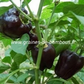 poivron-violet-capsicum-annum-www-graines-de-bambous-fr.jpg