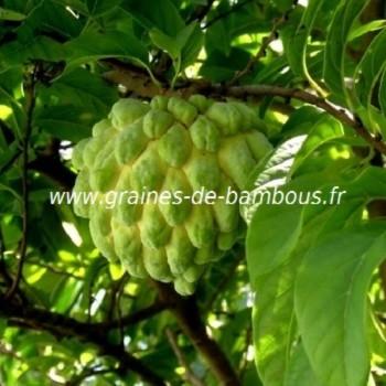 Pommier cannelle annona graines
