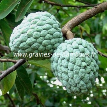 Pommier cannelle attier annona squamosa graines de bambous fr 1