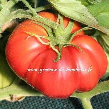 Tomate Potiron Ecarlate réf.790