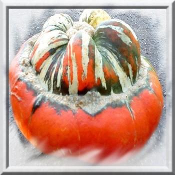 potiron-giraumon-turban-turc-www-graines-de-bambous-fr-www-grainesdebambous-com.jpg