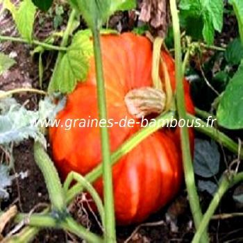 potiron-rouge-d-etampes-www-graines-de-bambous-fr-1.jpg