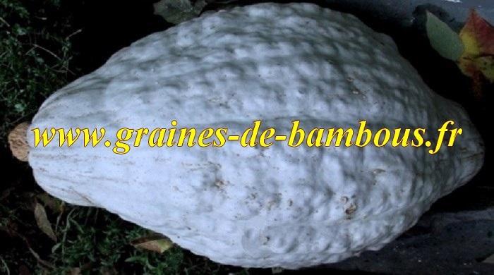 Potiron blue hubbard graines de bambous fr