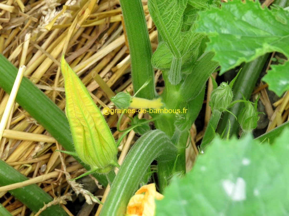 Premiere petite courgette jaune sur plant