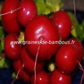 Radis cherry belle