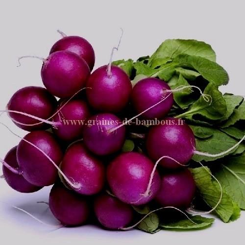 Radis malaga violet