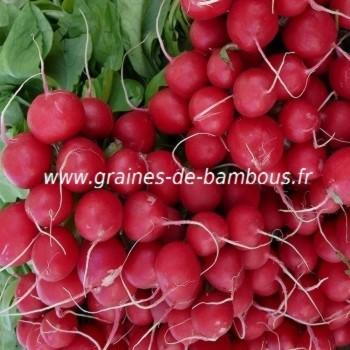 Radis rond rouge saxa 2 graines