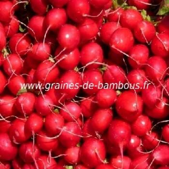 Radis rouge saxa 2