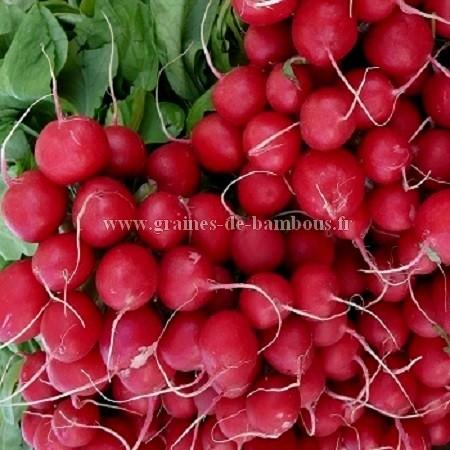 Radis rouge saxa