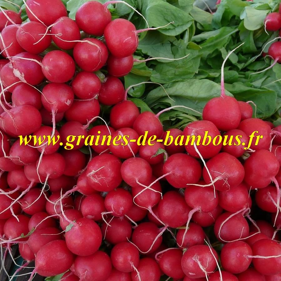 Radis saxa rouge graines