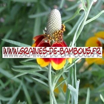 Ratibida 4000 graines de bambous fr