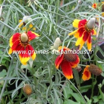 Ratibida fleur graines de bambous fr