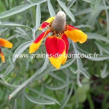 Ratibida fleurs chapeau mexicain graines de bambous fr