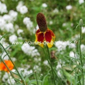 Ratibida graines de fleurs