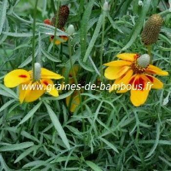 Ratibida graines fleurs chapeau mexicain