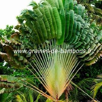 Ravenala madagascariensis graines de bambous fr
