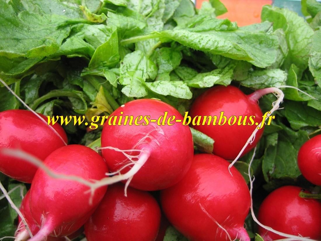 Riesenbutter graines de radis