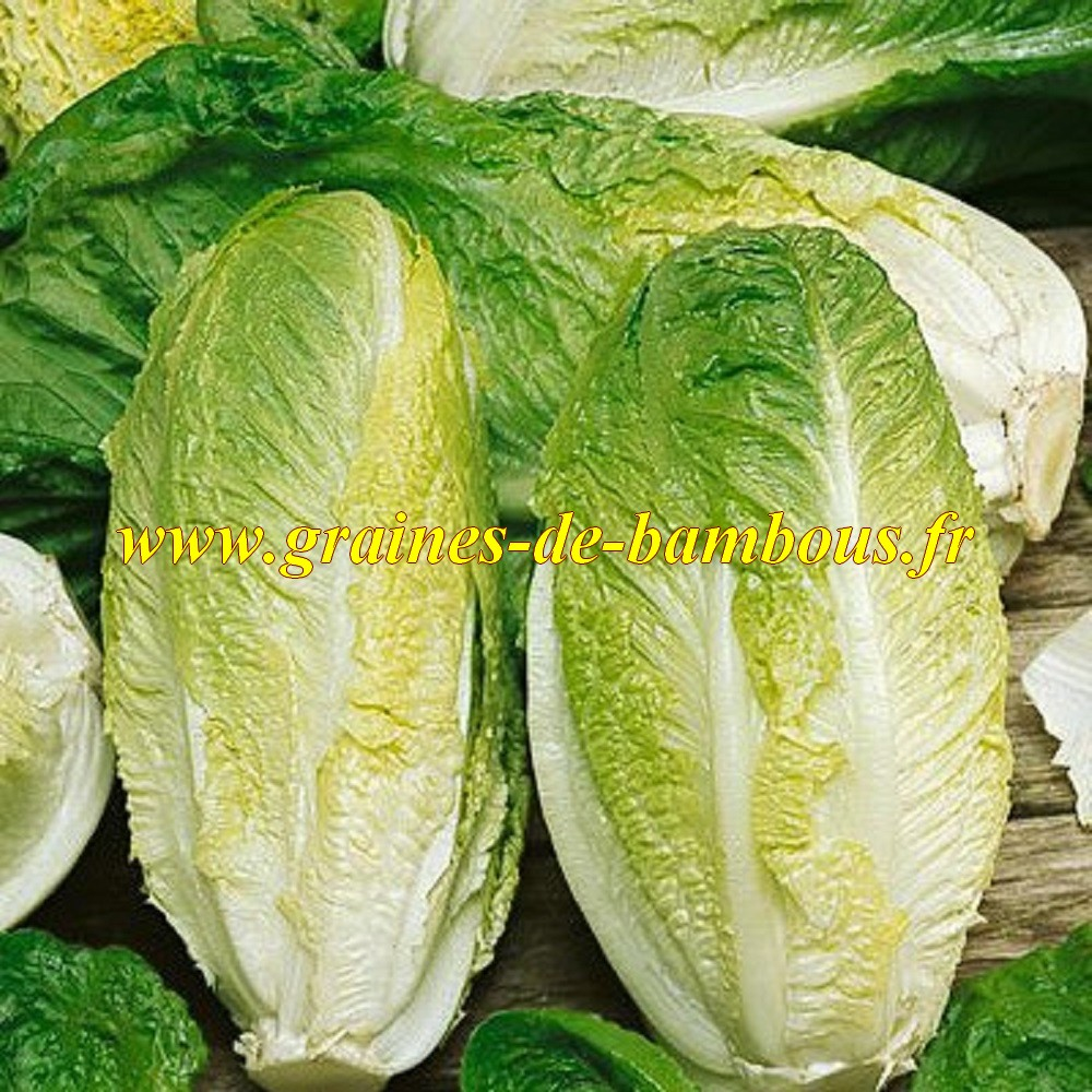 Romaine blonde maraichere graines de laitue