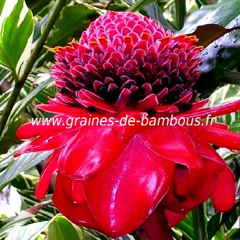 rose-de-porcelaine-etlingera-eliator-www-graines-de-bambous-fr.jpg