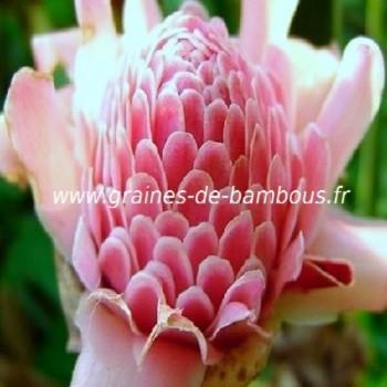 Rose porcelaine Eliator pink réf.680