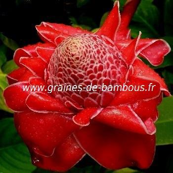 Rose porcelaine Eliator rouge réf.520
