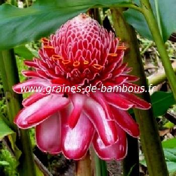 rose-porcelaine-www-graines-de-bambous-fr.jpg