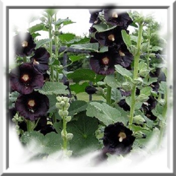 rose-tremiere-noire-www-graines-de-bambous-fr-www-grainesdebambous-com.jpg