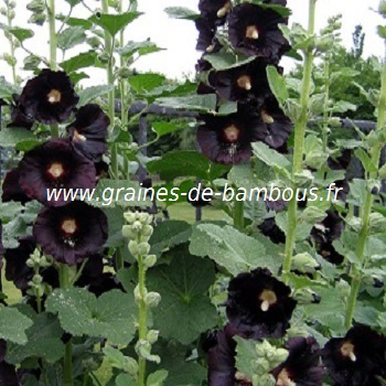 Semences rose tr mi re noire alcea rosa nigra - Graine rose tremiere ...