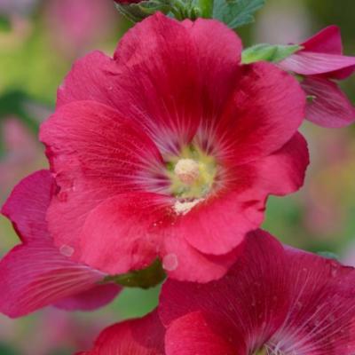Rose trémière rouge réf.256