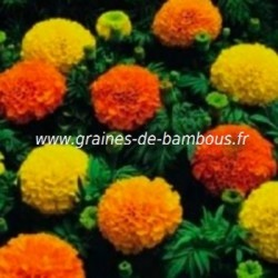 Rose d inde tagetes erecta graines