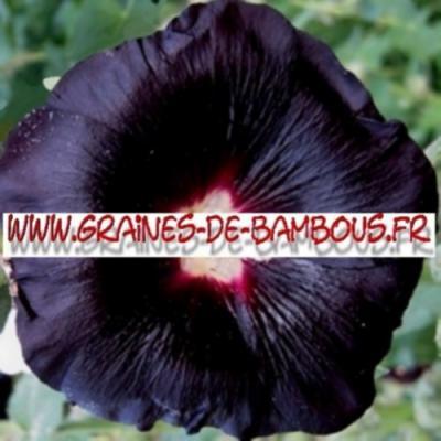 Rose trémière noire 1000 graines