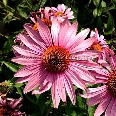 Rudbeckia pourpre echinacea purpurea
