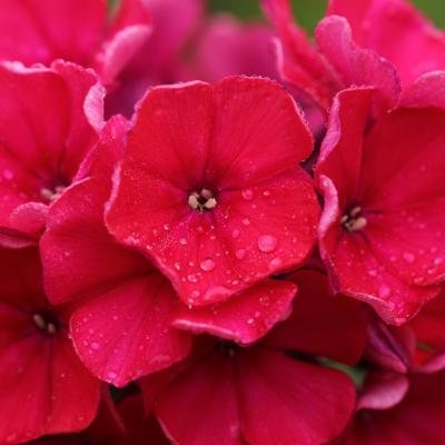 Phlox de Drummond rouge réf.876