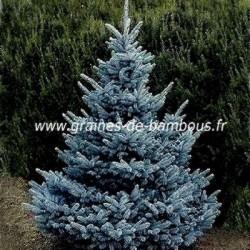 Sapin bleu du Colorado réf.501