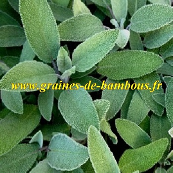 Sauge officinale feuilles