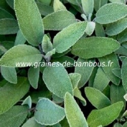 Sauge officinale salvia officinalis www graines de bambous fr