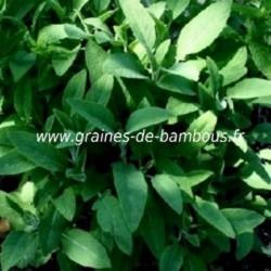 Sauge officinale www graines de bambous fr 2