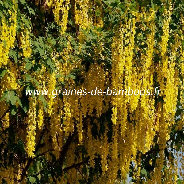 savonnier-koelreuteria-paniculata-www-graines-de-bambous-fr-1.jpg