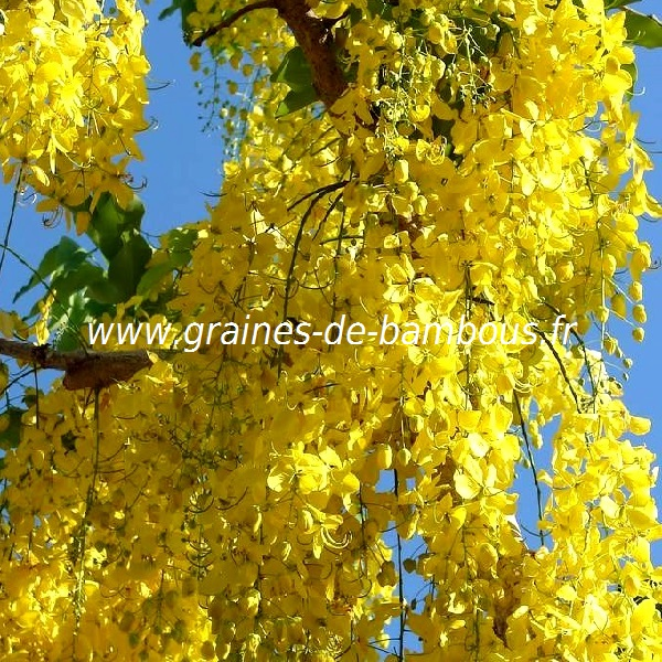 savonnier-koelreuteria-paniculata-www-graines-de-bambous-fr-2.jpg