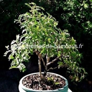 Schinus molle faux poivrier bonsai