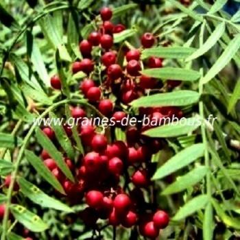 Schinus molle shinus areira faux poivrier odorant graines
