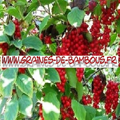 schisandra-chinensis-1000-graines-www-graines-de-bambous-fr.jpg