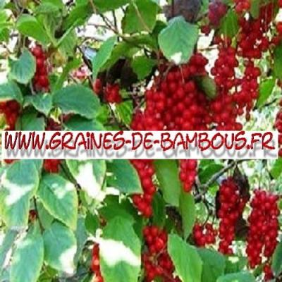 Baie aux 5 saveurs - schisandra chinensis 1000 graines