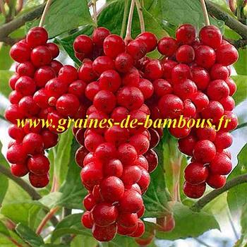 schisandra-chinensis-baies-5-saveurs-graines-de-bambous-fr.jpg