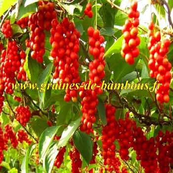 schisandra-chinensis-baies-aux-5-saveurs-graines-de-bambous-fr.jpg